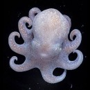 Pulpo fluorescente