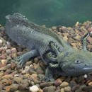 salamandra axolotl mexicana