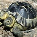 tortuga siamesa de 2 cabezas