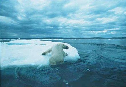 Oso Polar se Hunde