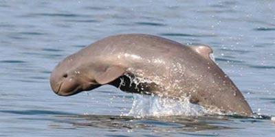 Delfín Irrawaddy