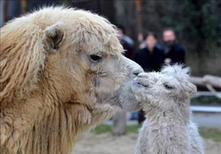 Injaz el clon de camello