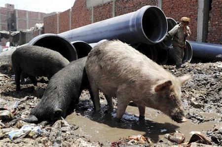 La influenza porcina vino de Asia
