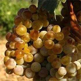 Uvas para combatir el envejecimiento