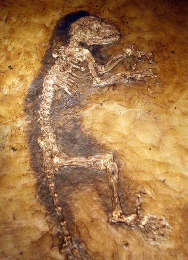 Fósil de mono lémur