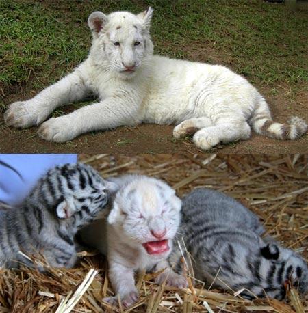 Fareeda la unica tigre de bengala blanco sin rayas