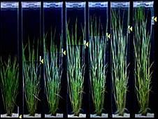 nueva planta de arroz resitente a inundaciones