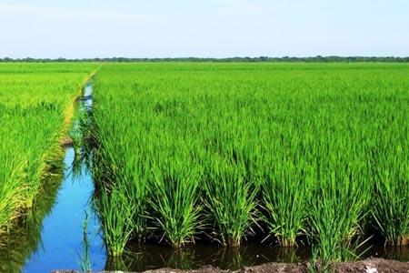imágen de cultivo de arroz