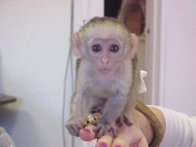 mono usado en experimentos médicos