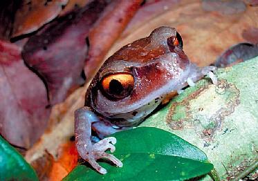 rana-de-ojos-dorados