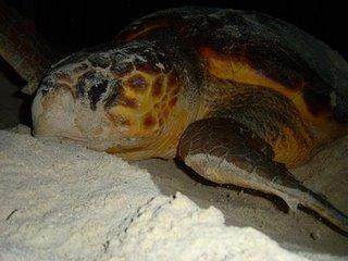 Tortuga Cahuama sobre la arena