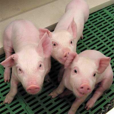 científicos crean carne de cerdo en laboratorio