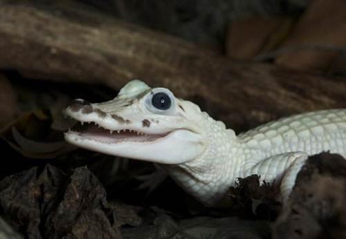 Caimán blanco encontrado en un pantano de Lousiana