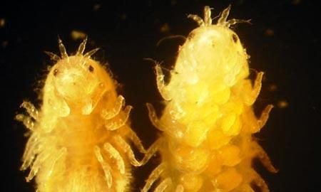 Termitas marinas