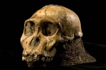 Craneo de un ancestro del humano