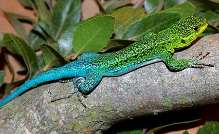 Especie exotica de reptil