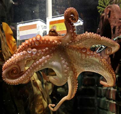 Pulpo Paul en su acuario