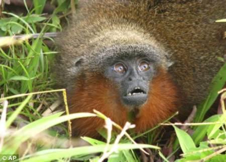 Nueva especie de simio en el Amazonas