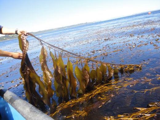 Rápida producción de aceite crudo de algas marinas